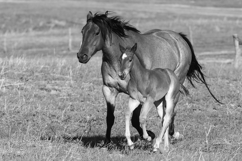 foal with tail chewed off